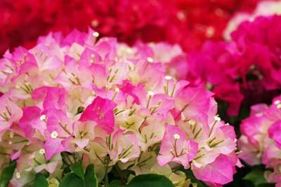 夏の花ブーゲンビリア