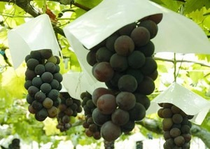 ブドウ 実が腐ったようになる病気は?