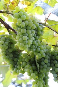 ブドウ 鉢植えの育て方