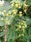 ブドウ山椒 育て方|高収穫で栽培しやすい
