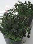 四葉のクローバーの栽培セット