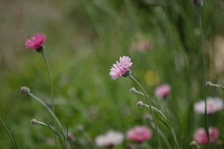 cornflower (1).jpg
