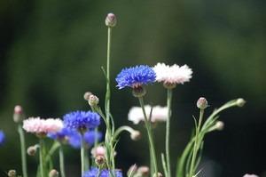 秋蒔き 花の種