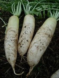 秋まき野菜 秋植え野菜の栽培