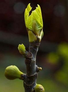 イチジクの育て方 庭植え|品種選びと剪定で大収穫