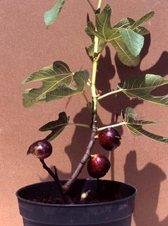 イチジクの育て方 鉢植え|初心者にも栽培しやすい、水切れに注意して