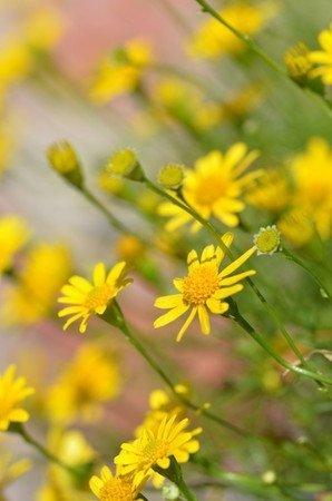 florists窶・daisy.jpg