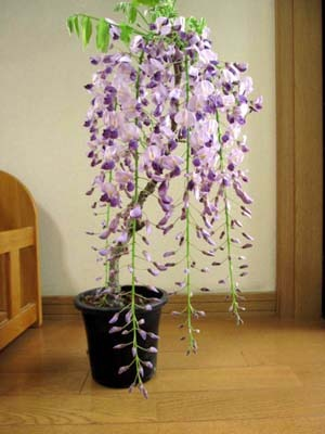 fujinohana (1).jpg