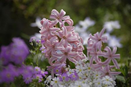 garden hyacinth (2).jpg