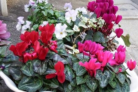 gardenCyclamen.jpg