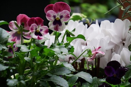 gardenCyclamen001.jpg