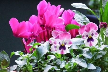 gardenCyclamen002.jpg