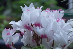gardenCyclamen002 (4).jpg