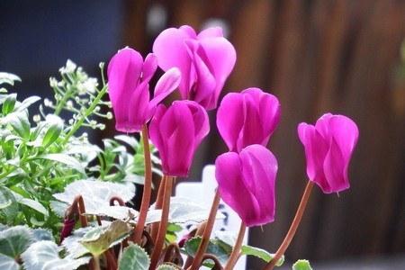 gardenCyclamen004.jpg