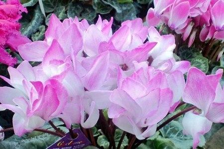 gardenCyclamen07.jpg