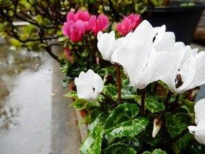 ガーデンシクラメン 花が倒れるのは?
