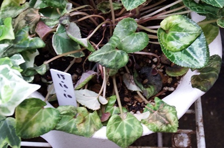 gardenCyclamen2016-05.JPG