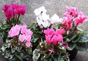 gardenCyclamen (10).JPG