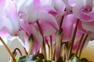 ガーデンシクラメン 花が咲かない