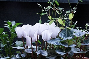 gardenCyclamen2.JPG