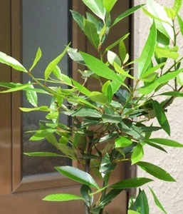 月桂樹 鉢植えの育て方