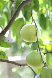 グレープフルーツの植え替えは?