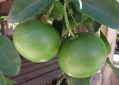 grapefruit006.jpg