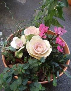 ハボタン 寄せ植えのコツ|合わせやすい植物たち
