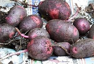 ジャガイモが大きくならない理由と対策