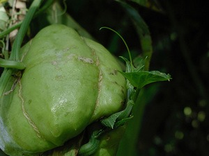 ハヤトウリの育て方|生育旺盛で100個以上も収穫