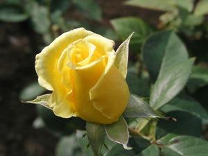 バラの育て方 8月|HT、フロリバンダ 庭植え