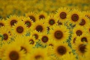 ヒマワリ 花が咲かない