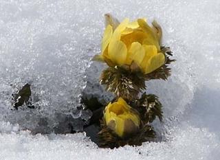 福寿草の栽培|つぼみがつかない花が咲かない理由は?