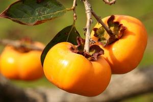 渋柿 甘柿の品種