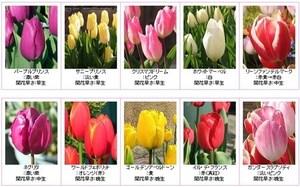 huyuzaki Tulip.jpg