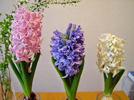 hyacinth (2).jpg