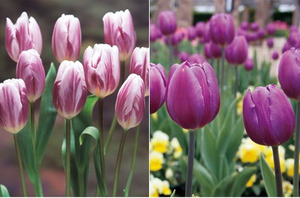 ice Tulip (2).jpg