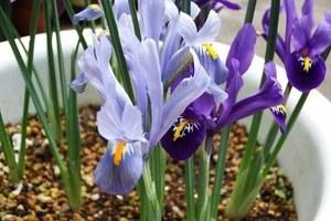 ミニアイリス開花! 良い香りです