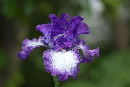 iris germanica (2).jpg