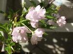 一才桜、家庭で花見ができる♪