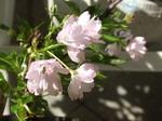 一才桜、八重咲きでみごとです