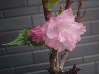 一才桜 旭山桜の育て方 毎年たくさんの花をつけさせる