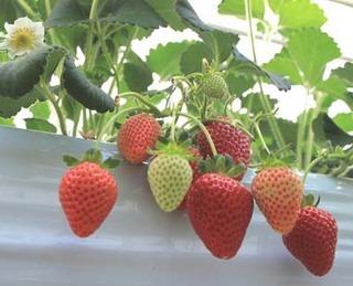 イチゴの栽培 育て方 6月−2.水やりと追肥に注意