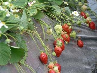 イチゴの栽培 育て方 3月 トンネルがけと人工受粉