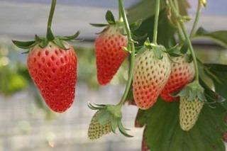 イチゴの栽培 育て方 8月−2.ポット苗の切り離しと栽培
