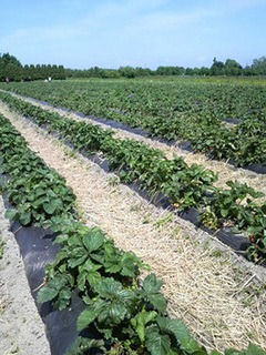 イチゴの栽培 育て方 7月−1.ランナー選別・整理と中耕で元気な苗を