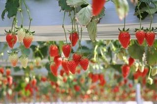 イチゴの栽培 育て方 6月−1.ランナー整理と中耕