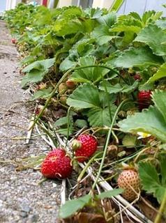 イチゴの栽培 育て方 8月−1.畑での子苗の仮植え方法