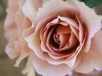 ジュリアス ローズ(Julia's Rose)