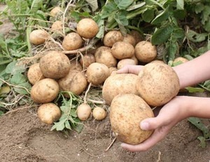 大量のジャガイモを保存する方法